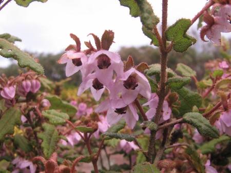 Thomasia triphylla